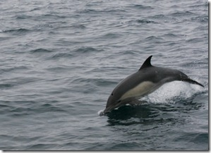 A Dolphin Off South Western Catalina