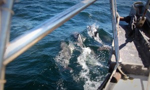 Dolphins before the bow wave