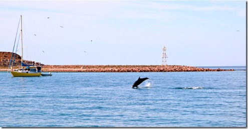 Dolphins Swimming Through the Anchorage at Isla San Francisco
